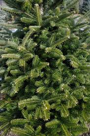 Silvertip Fir Christmas Tree by Silvertip Fir Christmas Tree Best Of The Trees Home Designs Ideas