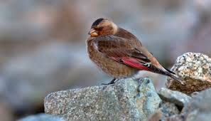 African Crimson Winged Finch A New Endemic Species
