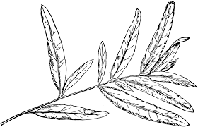 Willow Tree Leaves Clipart