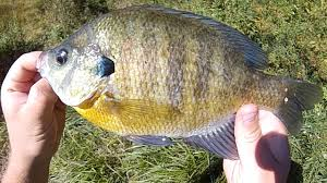 Pumpkin Seed Sunfish Pictures by Bait Fishing 129 Superworm Fishing For Pumpkinseed Hybrid