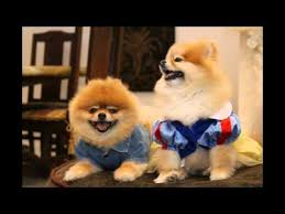 Do Bichon Pomeranians Shed by 12 Best Maltipom Images On Pinterest Pomeranians Puppies And
