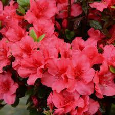 azalée japonaise johanna plantes et jardins