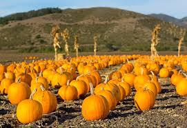 Pumpkin Patch Visalia Ca Hours by 28 Pumpkin Patch Fresno Ca Hours Uesugi Farms Tours Morgan