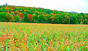 Pumpkin Patch Near Pasadena Tx by Percy Farm Corn Maze In Stowe Vermont