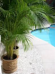golden palm in pots the areca palm dypsis lutescens