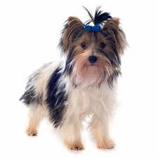 Non Shedding Dog Breeds Small by Hypoallergenic Dog Breed Top Dogs For Allergy Sufferers