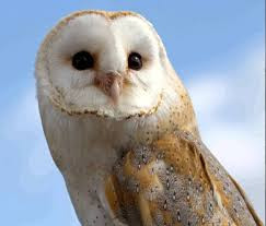05 Owl Barn Distress Call - YouTube Barn Owl Facts About Owls The Rspb Bto Bird Ring Demog Blog October 2014 Chouette Effraie Lechuza Bonita Sbastien Peguillou Owl Free Image Peakpx Wikipedia Barn One Wallpaper Online Galapagos Quasarex Expeditions Hungry Project Home Facebook Free Images Nature White Night Animal Wildlife Wild Hearing Phomenal Of Nocturnal Wildlife Animal Images Imaiges