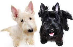 Best Mini Dogs That Dont Shed by Tag For Small Dog Breeds That Don T Shed Miniature Dogs Breeds