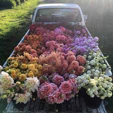 Truck Bed Full Of Dahlias Floret Farm WA