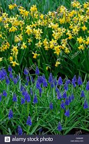narcissus tete a tete yellow daffodil blue muscari