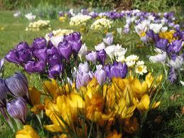 bluebell daffodil snowdrop bulbs etc flower