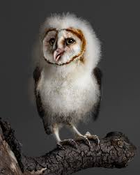 Banchi The Baby Barn Owl Barn Owl Focus On Cservation Best 25 Baby Ideas On Pinterest Beautiful Owls Barn Steal The Show As Day Turns To Night At Heartwood Family Ties Owl Chicks Let Their Hungry Siblings Eat First The Perch Uncommon Banchi Baby Coastal Home Giftware From Horizon Stock Image Image Of Small Young Looking 3249391 You Know Birdnote Banding By Alex Lamoreaux Nemesis Bird