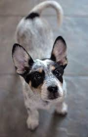 Blue Heeler Lab Mix Shedding by 285 Best Future Pets Images On Pinterest Animals Puppies And