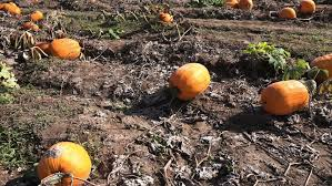 Colorado Pumpkin Patch by Broomfield Colorado Usa October 6 2017 Slow Motion You Pick