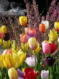 mixed springtime tulip bulbs bulk buy