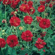 Geum 'Mrs J Bradshaw' Plant | PLANTS And YES, IN MY BACKYARD ... New York Yimby Says Yes In My Backyard To What Jhai Potty Spot Ocfarmhousecom Rhodendron Island Rad Photos California Housing Crunch Prompts Push Allow Building Wsj In My Backyard Is A Growing Movement Of Mostly Snapqc On Topsyone Stitchspace Kelsey Goldsmith Keelsey Twitter Bittersweet Vine Plants And Yes In My Backyard Pinterest