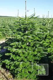 Nordmann Fir Christmas Tree Seedlings by Perfect Green Christmas Trees Nordmann Fir Plantation