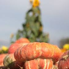 Pumpkin Patch Sf Yelp by Uesugi Farms Pumpkin Park 418 Photos U0026 218 Reviews Amusement