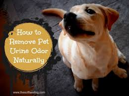 Dog Urine Wood Floors Vinegar by How To Get Dog Urine Out Of Hardwood Floors 13 Gallery Image And
