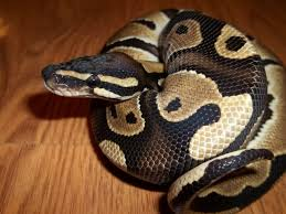 Ball Python Shedding Signs by Juvenile Ball Python Het Pied Pics Arachnoboards