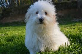 Non Shedding Dog Breeds Small by Top 15 Cutest Small Dogs That Don U0027t Shed Teacupdogdaily