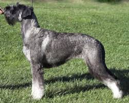 Do Giant Schnauzers Shed by Saved By Dogs Black Russian Terrier Chornyi Bouvier And Giant