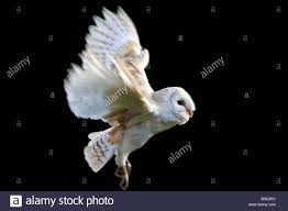 Black Owl Stock Photos & Black Owl Stock Images - Alamy Amazing Barn Owl Nocturnal Facts About Wild Animals Barn Owl By David Cooke For Sale The Sculpture Parkcom Rhodium Comes To Canada With Its Striking New Nocturnal Nature Flying Wallpapersbirds Unique Hd Wallpapers Owls In Kuala Lumpur Bird Park Stock Photo Image 87325150 Biocontrol View Common In Malaysia Sekinchan Paddy Field Youtube Another Blog Farmers Friend Bear With Him Girl Mom Birds Of World Owls