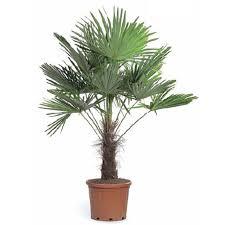 palmier trachycarpus fortunei plantes pour bacs autres marques