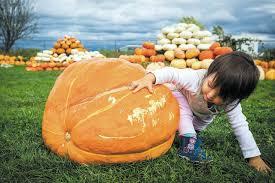 Seattle Pumpkin Patch by Find A Great Treasure In A Corn Maze And Pumpkin Patch Heraldnet Com