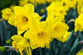 narcissus master trumpet daffodil