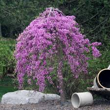 Its Easy To Plant Care For Your Lavender TwistR Weeping Redbud