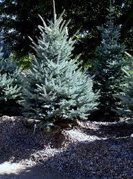 Christmas Tree Saplings For Sale Ireland by Fat Albert Blue Spruce Knecht U0027s Nurseries U0026 Landscaping