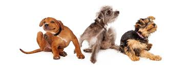 Do Hypoallergenic Dogs Still Shed by Dog Breeds For Those With Allergies Windy City Paws