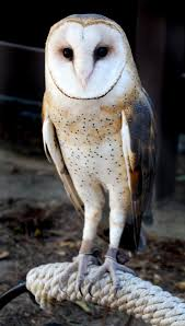 265 Best Birds Images On Pinterest | Birds, Nature And Angels Amazing Barn Owl Nocturnal Facts About Wild Animals Barn Owl By David Cooke For Sale The Sculpture Parkcom Rhodium Comes To Canada With Its Striking New Nocturnal Nature Flying Wallpapersbirds Unique Hd Wallpapers Owls In Kuala Lumpur Bird Park Stock Photo Image 87325150 Biocontrol View Common In Malaysia Sekinchan Paddy Field Youtube Another Blog Farmers Friend Bear With Him Girl Mom Birds Of World Owls