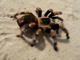 Remains Of The Day Spiders by Tarantula Wikipedia
