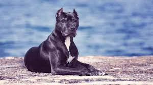 My Cane Corso Shedding A Lot by How To Get Your Pit Bulls Coat Shiny