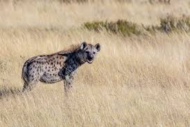 6 facts about hyena you might not bali safari marine park