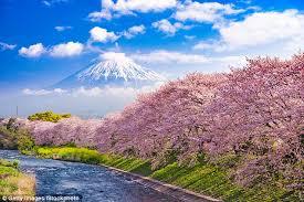 Japanese Cherry Blossom Bathroom Set by Set Sail For Japan U0027s Cherry Blossom Bonanza Daily Mail Online