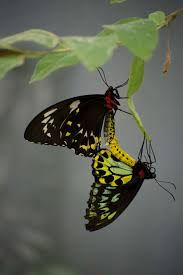 100 Butterfly House Melbourne Mating Cairns Birdwings This Was A Rare Opportunity A Pair Of