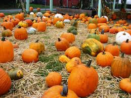 Seattle Pumpkin Patch by Wedgwood Center Of The Pumpkin Universe Wedgwood In Seattle History