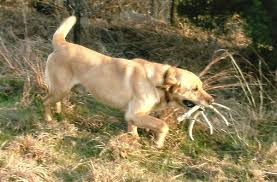 Black Mouth Cur Shed Hunting by Outdoor News Shed Dog Hunting In Greenwood The Greenwood