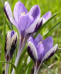176 best bulbs images on nature beautiful flowers