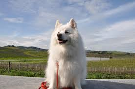 american eskimo dog breed information pictures more
