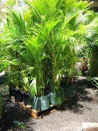 golden palm in pots golden palm palms galore perth