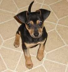 do miniature pinscher mix shed my babies harley they re min pin chihuahua mix