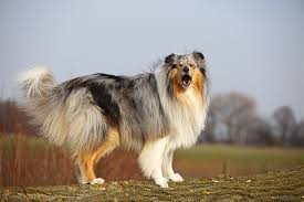 Shed Free Dogs Pictures by Collie Dog Breed Information Pictures Characteristics U0026 Facts