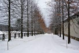 Martha Stewart 75 Foot Christmas Trees by An End Of January Snowfall The Martha Stewart Blog