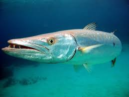 Barracuda | Animal Wildlife