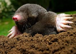 How To Rid Your Lawn Of Mountains Of Molehills | Mississippi State ... How To Get Rid Of Moles Organic Gardening Blog Cat Captures Mole In My Neighbors Backyard Youtube Animal Wikipedia Identify And In The Garden Or Yard Daily Home Renovation Tips Vs The Part 1 Damaging Our Lawn When Are Most Active Dec 2017 Uerstanding Their Behavior Mole Gassing Pests Get Correct Remedy Liftyles Sonic Molechaser Alinum Covers 11250 Sq Ft Model 7900