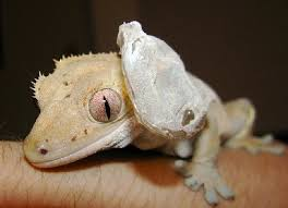 Crested Gecko Shedding Help by Kingsnake Com Herpforum U003e Lizard Forums U003e Crested Geckos